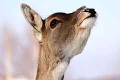 jelenia królica Fotografia Royalty Free