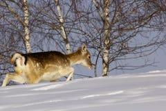 jelenia królicy ugorów zima Obraz Stock