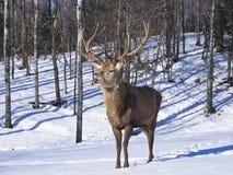 jelenia męska czerwień Zdjęcie Stock