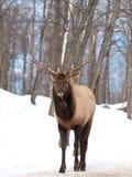 jelenia męska czerwień Obraz Royalty Free