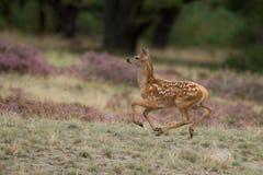 jelenia mała czerwień Zdjęcie Stock