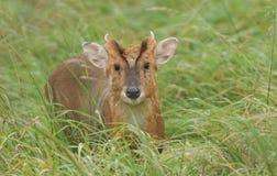 Jelenia Muntjac Muntiacus reevesi Jelenia pozycja w długiej trawie Fotografia Royalty Free