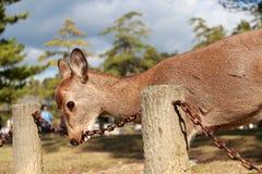 Jelenia pozycja i używa usta łańcuszkowy żelazo na świetle słonecznym przy parkiem w Nara, Japonia obraz stock