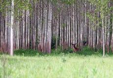 Jelenia pozycja w lesie fotografia stock