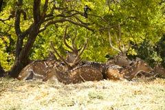 jelenia rodzina Zdjęcie Stock