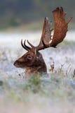 jelenich ugorów mrozowy moring Obrazy Royalty Free