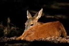 jelenie odpocząć Obrazy Royalty Free