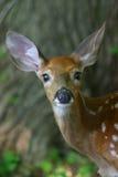jeleniego śledzić źrebaka white Obrazy Royalty Free