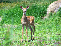 jeleniego śledzić źrebaka white Zdjęcie Royalty Free