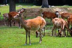 jeleniego stada japończyka park dostrzegający Obrazy Stock