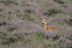 jeleniej królicy ogoniasty biel Fotografia Stock
