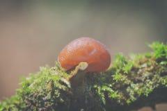Jelly ear - Auricularia auricula-judae Stock Photography