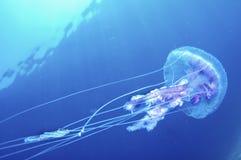 Jelly Fish Stockbilder
