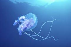 Jelly Fish Stockfotografie