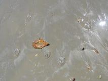 Jelly Fish Imagens de Stock