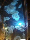 Jelly Fish fotos de archivo libres de regalías