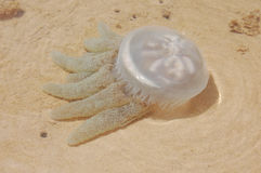 Jelly fish. Swimming in lagoon, Kleinemonde, Eastern Cape, South Africa Stock Photo