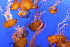 Free Jelly Fish Stock Images - 12688954
