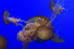 Jelly Fish Royalty Free Stock Photography