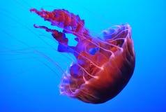 Jelly-fish royalty free illustration