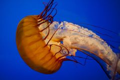 Jelly fish. In a big tank Royalty Free Stock Photography