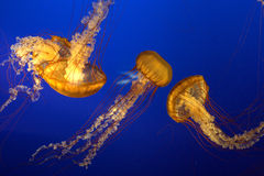 Jelly fish. The colorful atlantic nettle fish or jelly fish at the Vancouver aquarium Stock Image