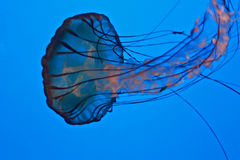 Jelly Fish Stock Image