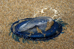 Blue bottle jelly-fish. (Velella Velella)washed-ashore at the coast at the south of France royalty free stock images