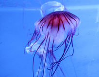Jelly fish Royalty Free Stock Photos