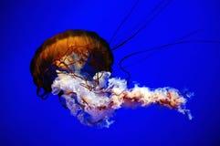 Jelly fish. Adventure, animal, aqualung, aquarium, aquatic, background, bite, black, coral, creature, danger, dangerous, dark, deep, dive, diving, exotic, fish Stock Photography