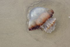 Jelly Fish Arkivfoto