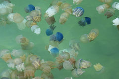 Jelly Fish Photo stock
