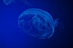Jelly Fish Imagen de archivo libre de regalías