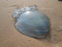 Jelly Fish Photo libre de droits