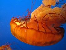 Jelly Fish Photos libres de droits