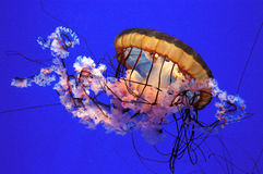 Jelly Fish Photos libres de droits