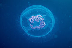 Jelly Fish Stockbilder