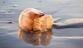 Jelly Fish Fotos de Stock Royalty Free