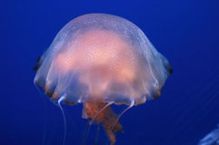 Jelly Fish. Close up shot Royalty Free Stock Photos