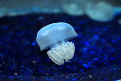 Jelly fish. A close up of a living jelly fish with deep blue background Royalty Free Stock Image