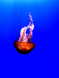 Jelly Fish. A lovely orange jelly fish that you wouldn't want to get close to Royalty Free Stock Photos