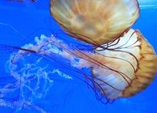 Jelly Fish Imagem de Stock Royalty Free