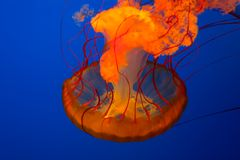 Jelly fish Stock Photos