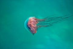 Jelly Fish Royalty-vrije Stock Foto