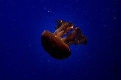 Jelly Fish Fotografia de Stock Royalty Free