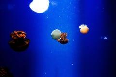Jelly Fish Imagem de Stock