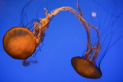 Jelly Fish Image libre de droits