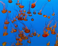 Jelly fish in an aquarium. Jelly fish in the blue sea Stock Images