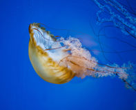 Jelly Fish Stock Images
