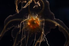 A jelly fish in aquarium Royalty Free Stock Image